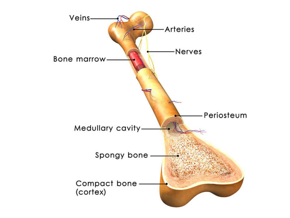 bone marrow location