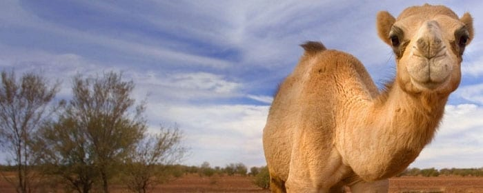 The Power of Camel's Milk: How it Helps Diabetes & Autoimmune Conditions